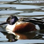 Photo of male Northern Shoveler