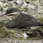 Photo of Northern Waterthrush