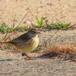 photo of Palm Warbler in fall