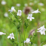 Photo of Foxglove Beardtongue