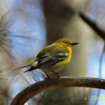 photo of male Pine Warbler