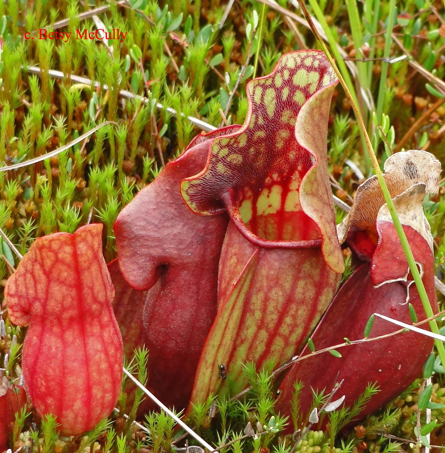 Photo of Purple Pitcherplant