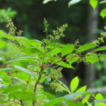 photo of Poison-sumac