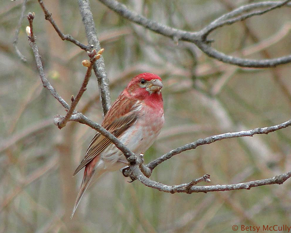 photo of Purple Finch male
