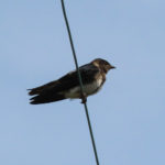 photo of Purple Martin