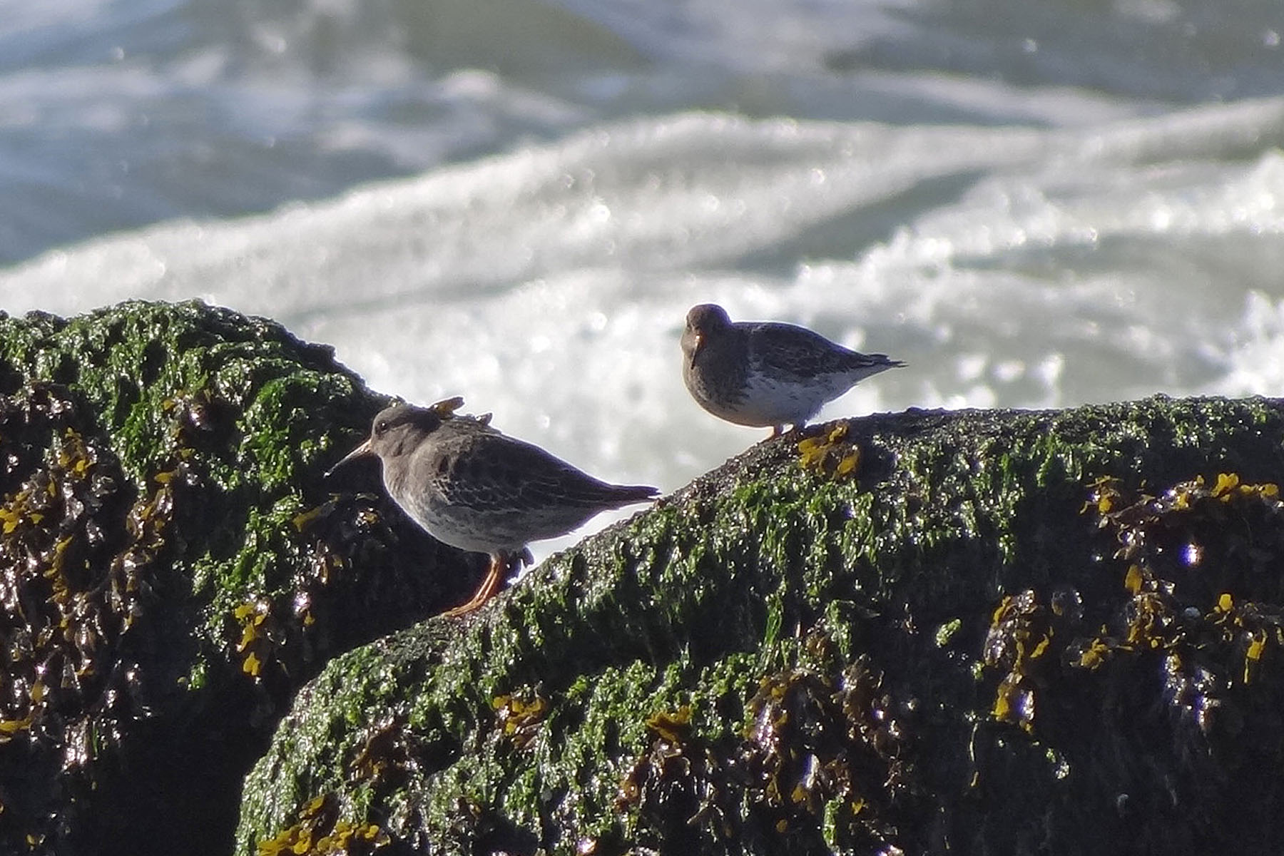 Photo of purple sandpipers