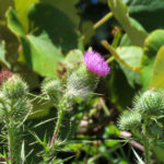 Photo of Common Thistle