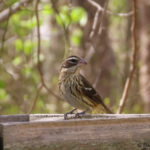 photo of Rose-breasted Grosbeak female