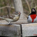 photo of male and female Rose-breasted Grosbeak
