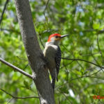 Photo of Red-bellied Woodpecker