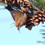 photo of immature male Red Crossbill