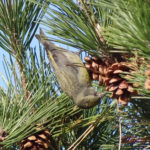 photo of female Red Crossbill