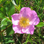 Photo of Rosa carolina