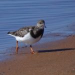 Photo of Ruddy Turnstone
