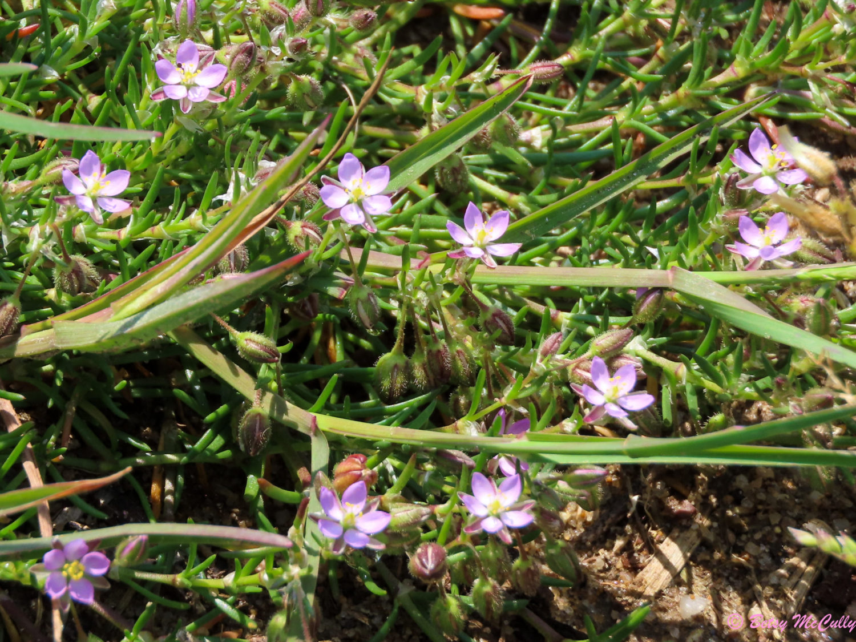 Photo of Salt Marsh Sand-spurry
