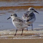 Photo of Sanderlings