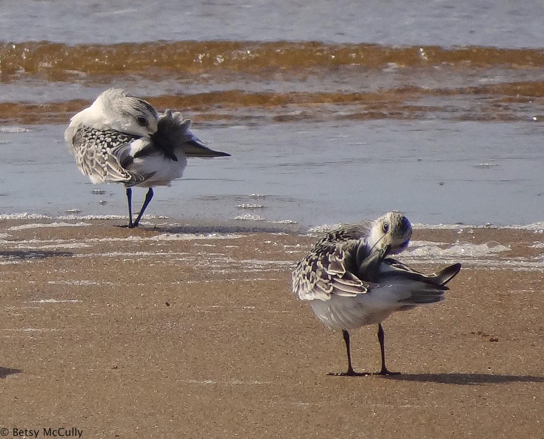 Photo of Sanderlings