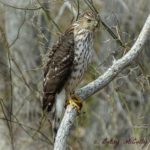 photo of Sharp-shinned Hawk