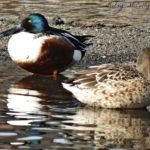 Photo of Northern Shoveler pair