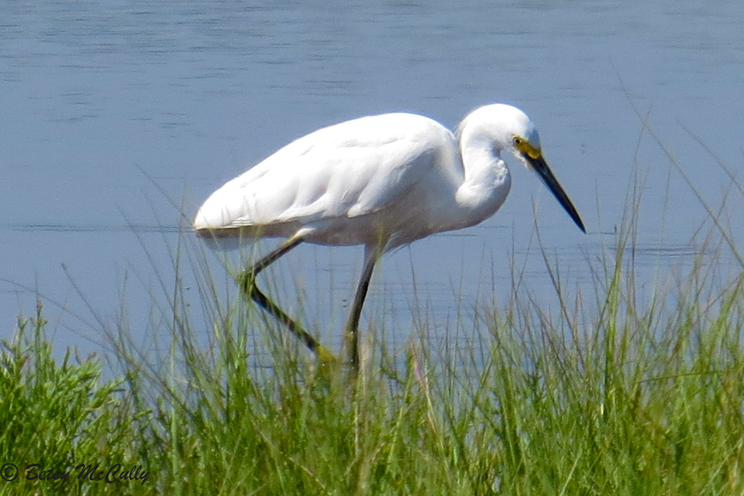 photo of Snowy Egret