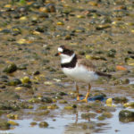 photo of Semipalmated Plover