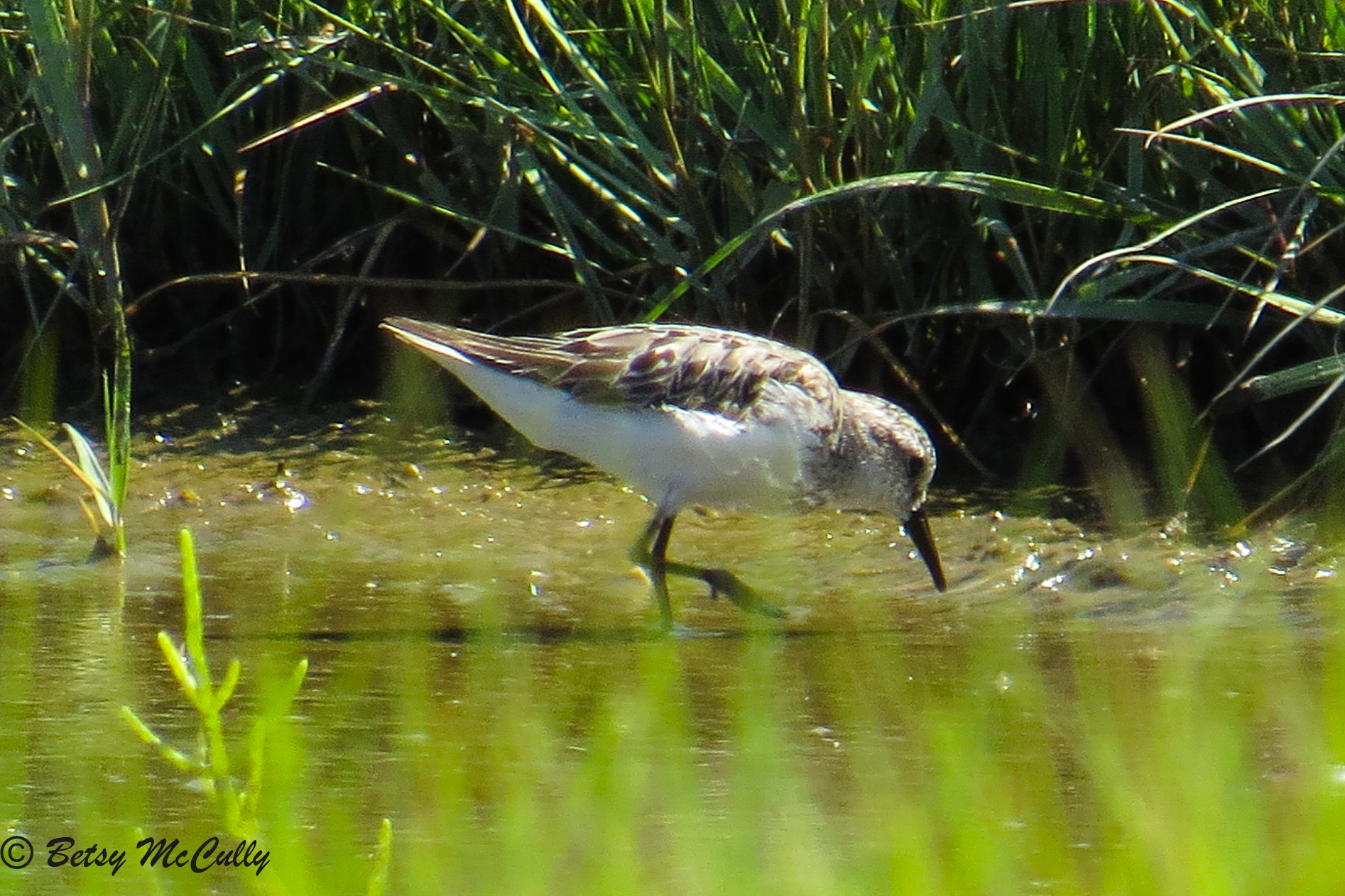 photo of Semi-palmated Sandpiper
