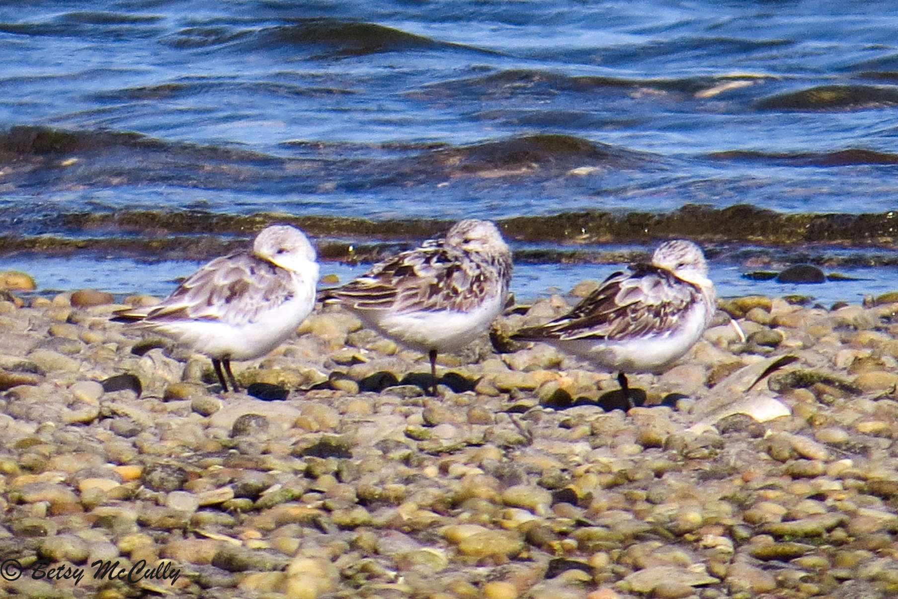 photo of Semi-palmated Sandpipers