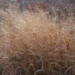 photo of Switchgrass