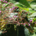 photo of Panicled Tick-trefoil