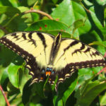 Photo of Tiger Swallowtail