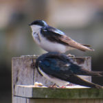 photo of tree swallow pair