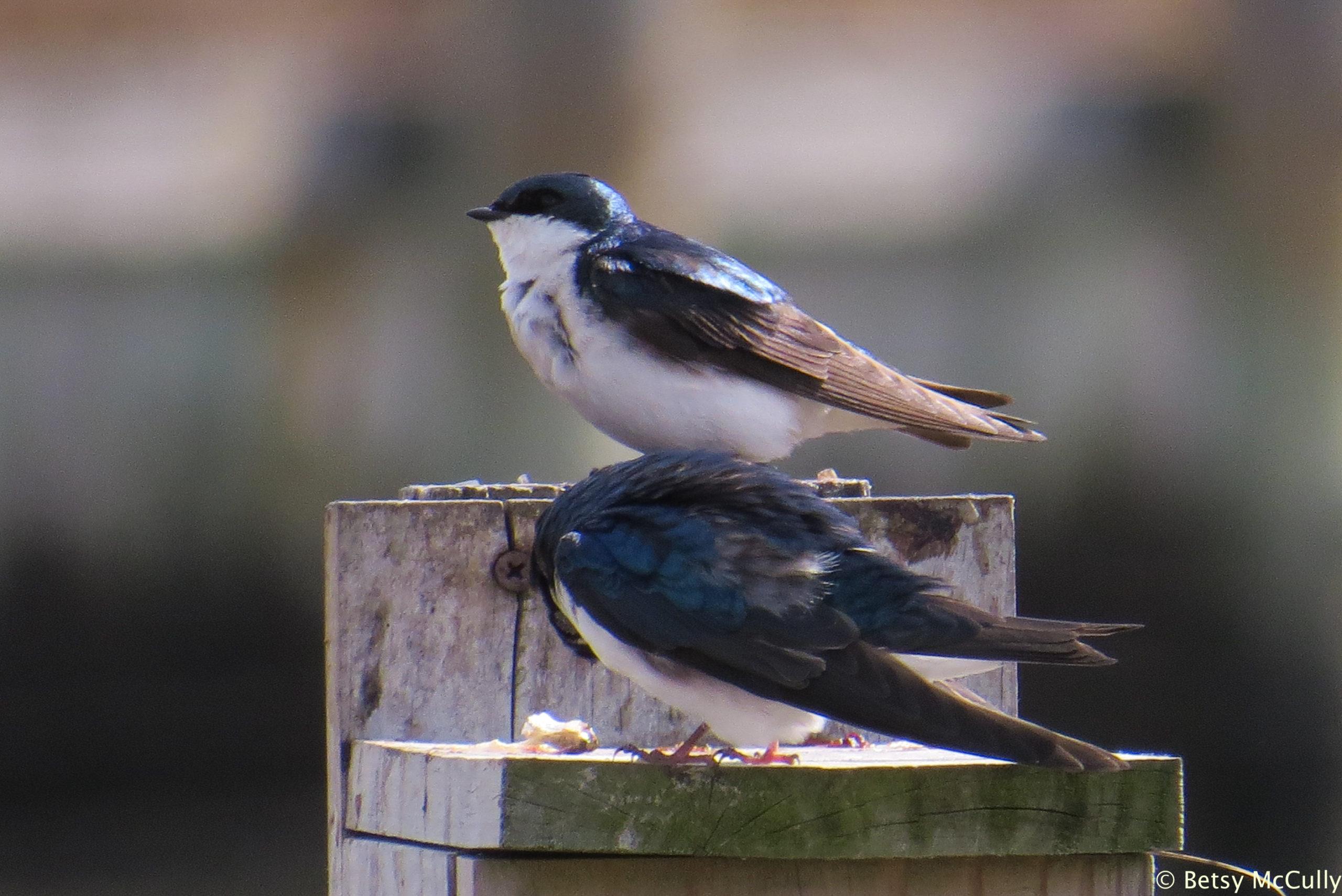 photo of tree swallow pair