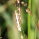 photo of Leach's Grass-veneer moth