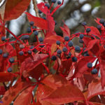 Photo of Virginia Creeper