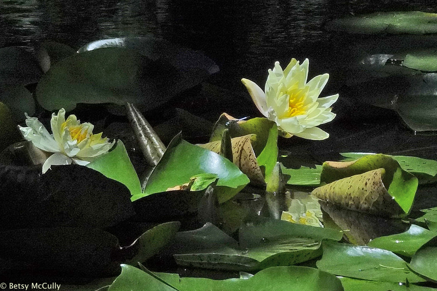 photo of white water-lily