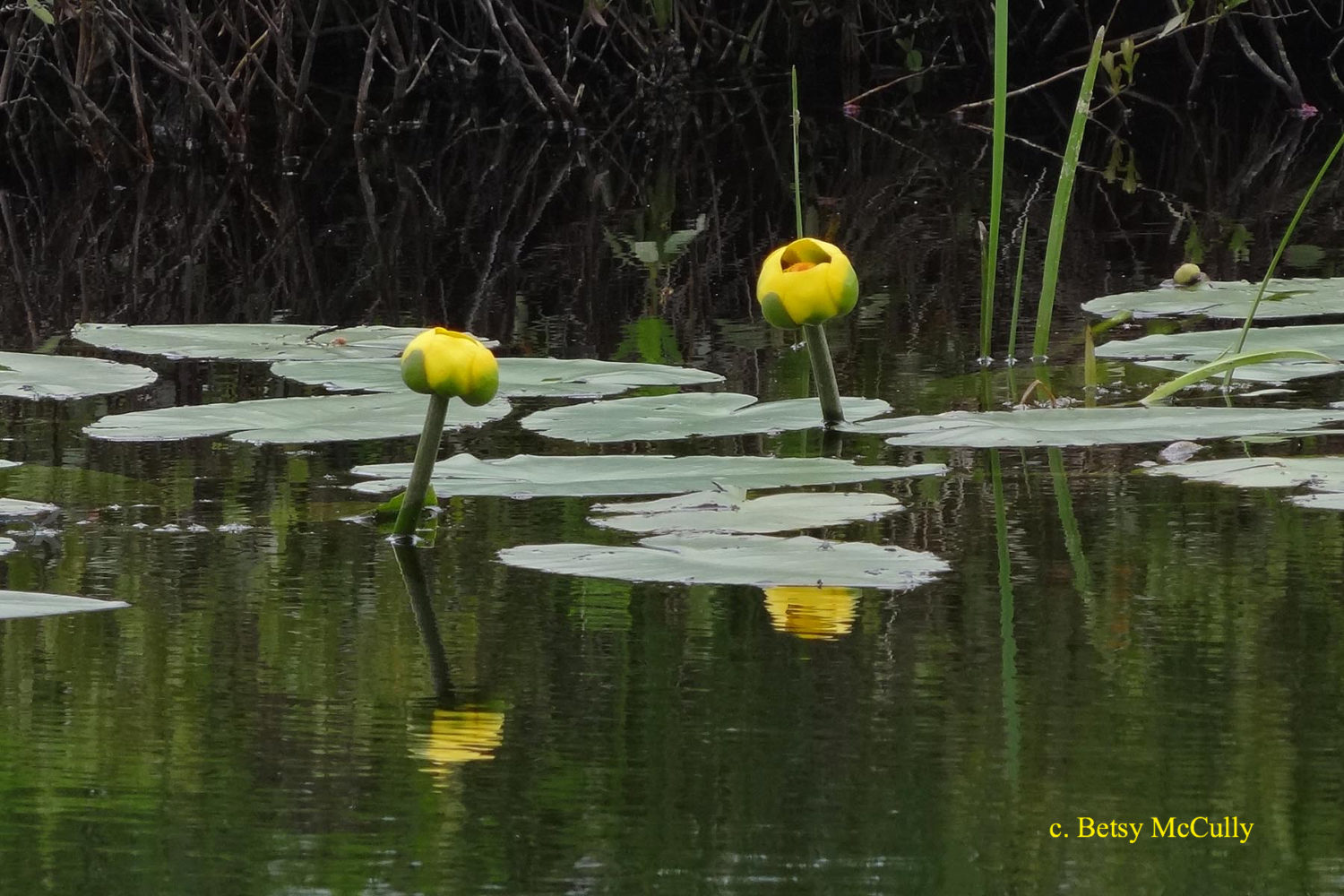 Photo of Yellow Pond-lily
