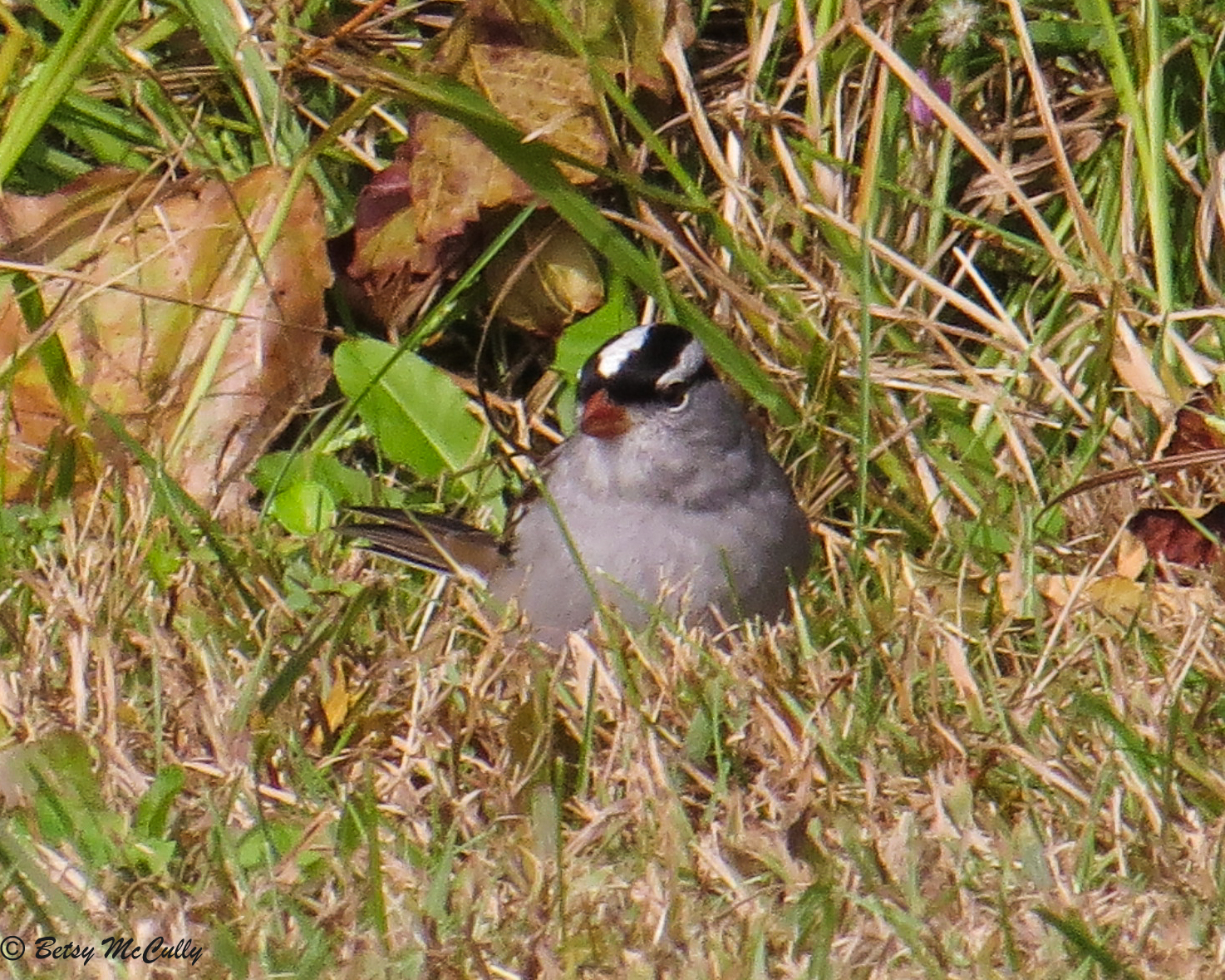 Photo of White-crowned Sparrow