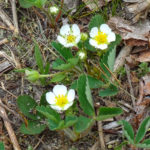 Photo of Wild Strawberry