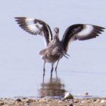 photo of Willets