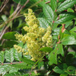 Photo of Shining Sumac flowers