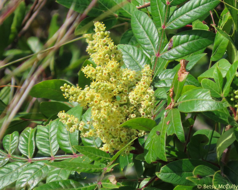 Photo of Shining Sumac flowers