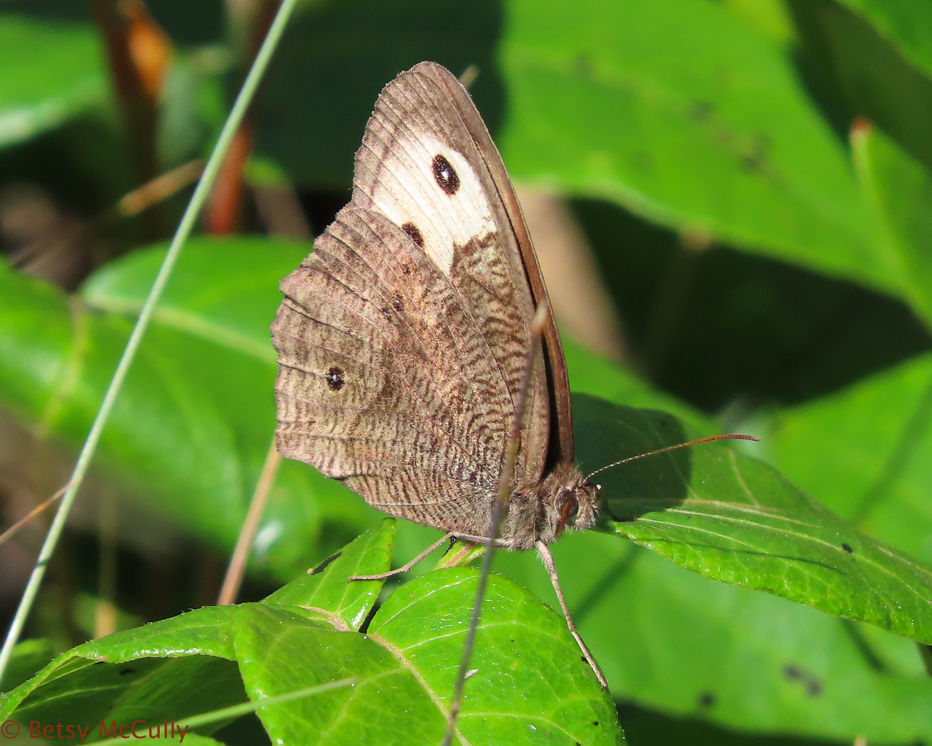 Photo of Wood Nymph