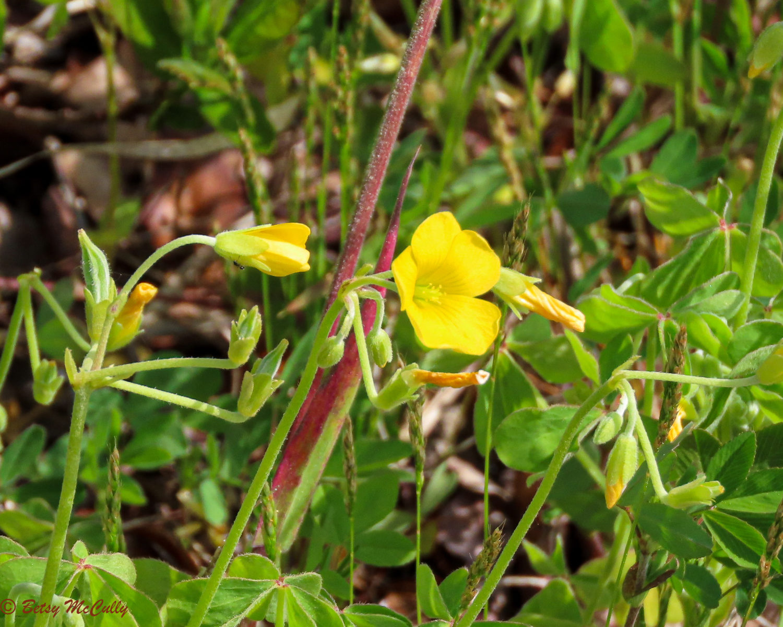 Photo of Common Yellow Wood Sorrel