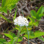 Photo of Common Yarrow
