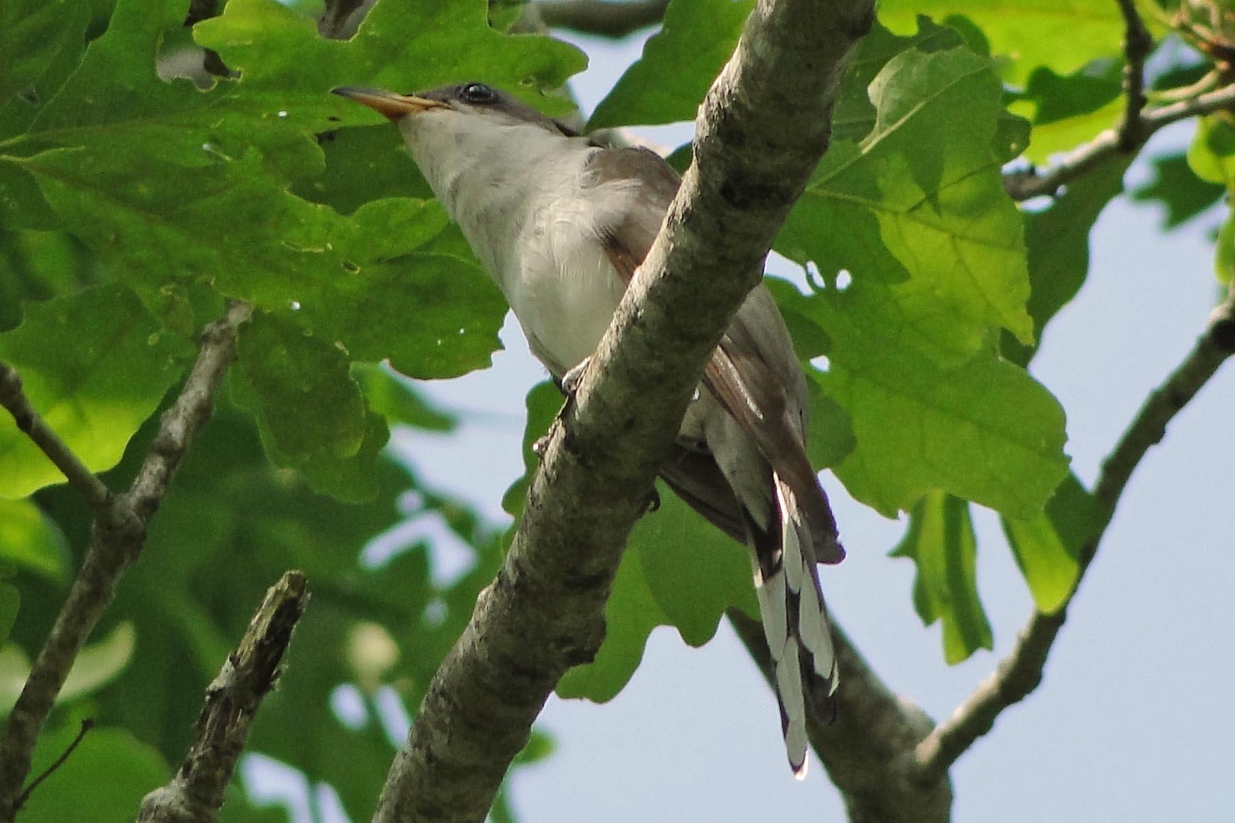 Photo of Yellow-billed Cuckoo