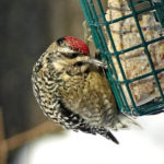 photo of Yellow-bellied Sapsucker
