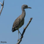 Photo of Yellow-crowned Night-heron