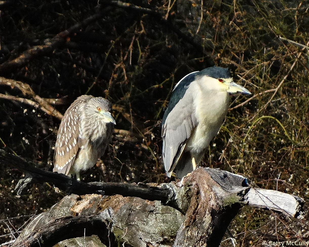 photo of Black-crowned Night-heron adult and juvenile