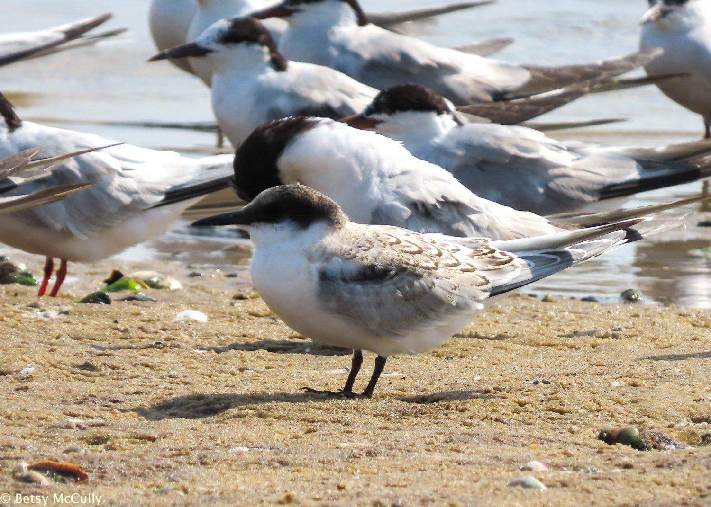 photo of Roseate Tern juvenile