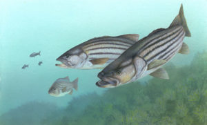 Painting of Striped Bass by Timothy Knepp, USFWS, 2001